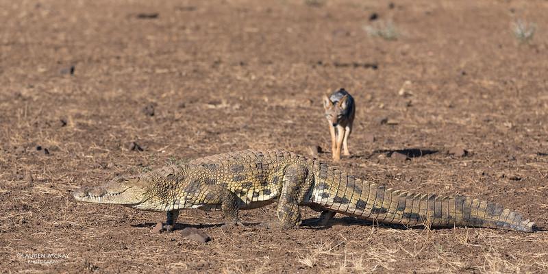 Black-backed Jackal & Nile Crocodile, Mashatu GR, Botwana, May 2017-7.jpg