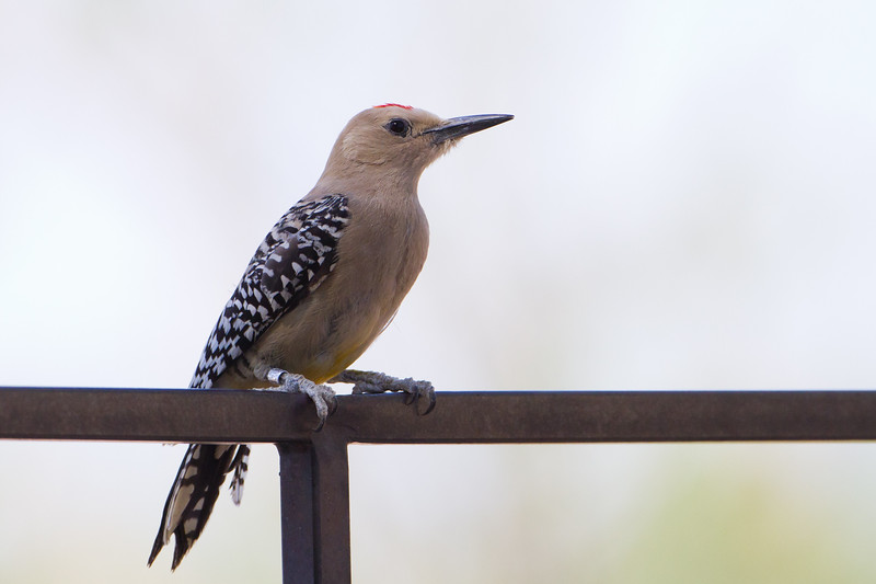 Gila Woodpecker - San Pedro House, Sierra Vista, AZ, USA