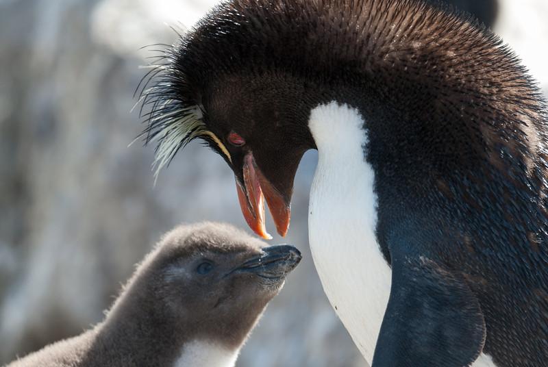 Rockhopper penguin and chick, West Point Island, Falkland Islands