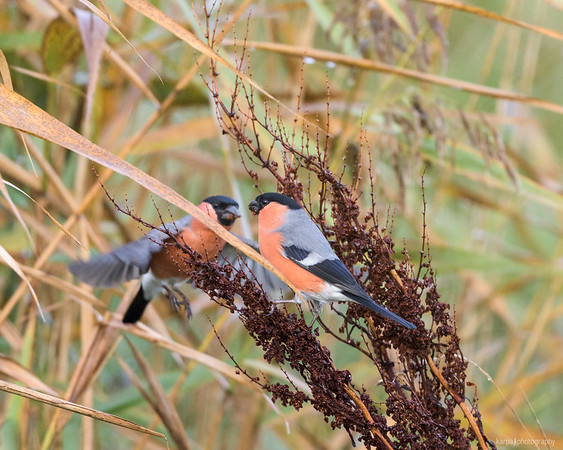 Bullfinches in the Duhner Heide