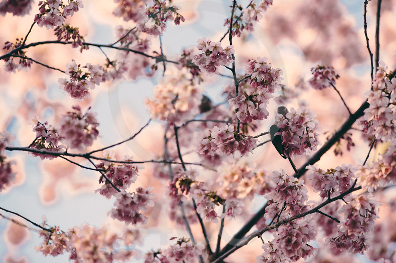 Birds in cherry Blossoms