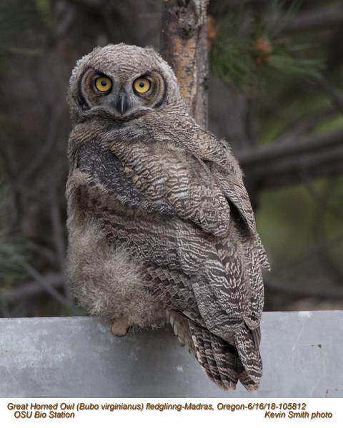 Great Horned Owl J105810.jpg