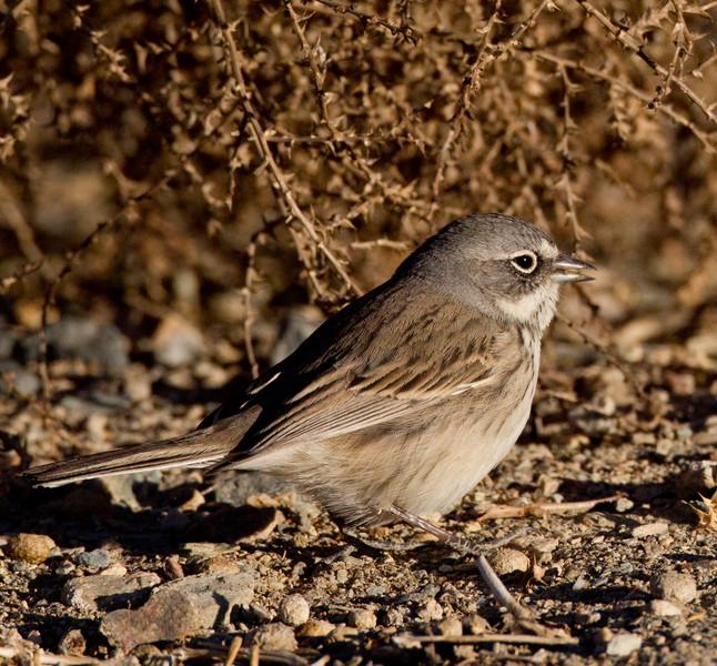 Sagebrush Sparrow  White Mountain Ranch 2014 01 16-5.CR2