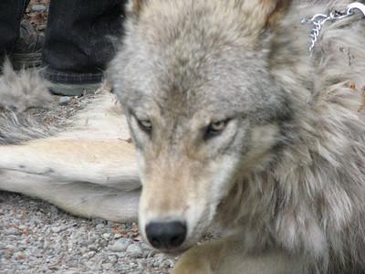 Alaska Zoo- Wolves