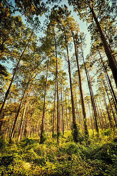 tall pines-3_HDR.jpg