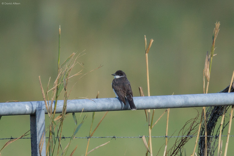 Eastern Kingbird - Barra, Outer Hebrides 30/09/16