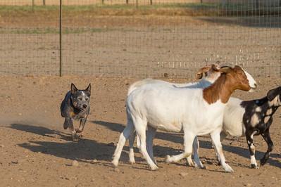 #2 HT Goats