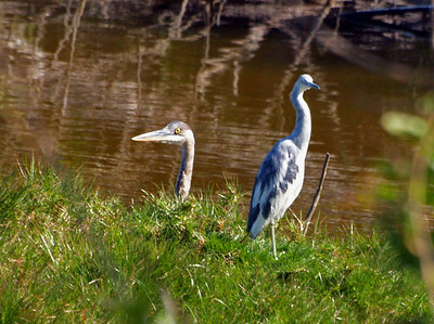 GBH Little Blue Heron Chick o the village 04 08