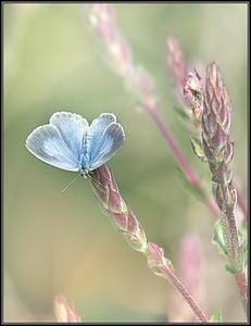 Icarusblauwtje/Common blue
