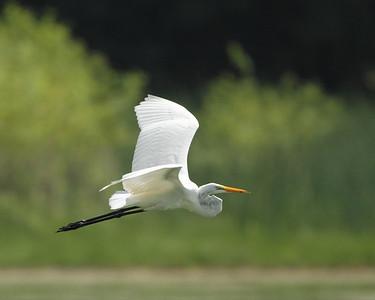 Herons - Egrets - Kingfisher
