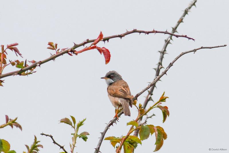 Spectacled Warbler - Burnham Overy Staithe, Norfolk 07/06/14