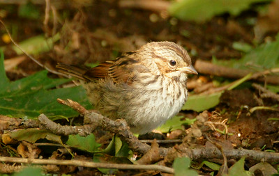 song sparrow baby