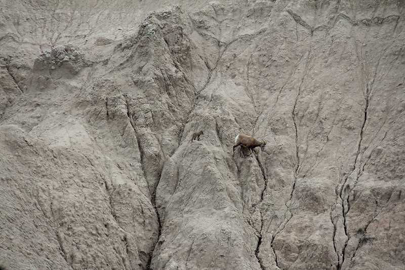 20140523-143-BadlandsNP-MountainGoats.JPG