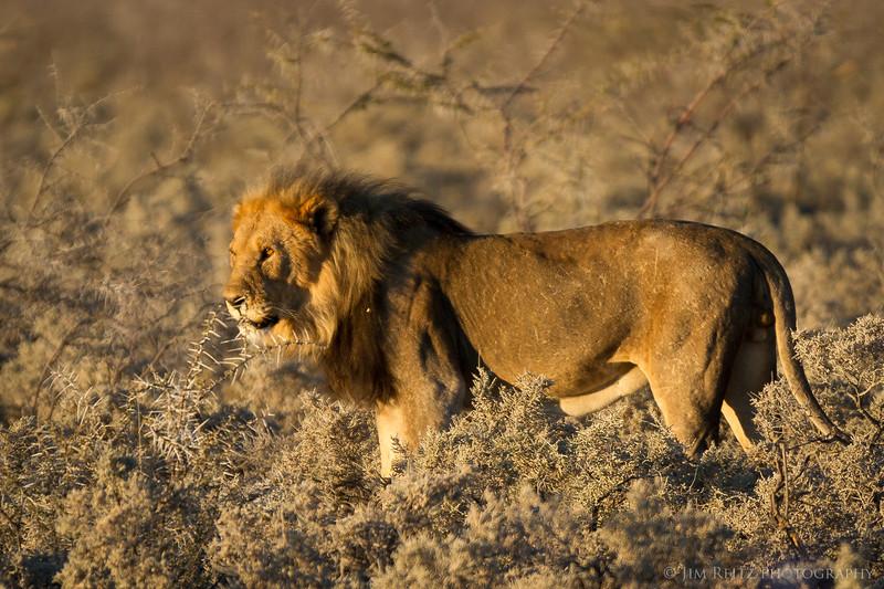 Male lion - Etosha National Park, Namibia.
