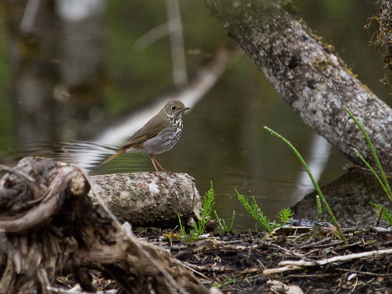 What appears to be some kind of thrush, perhaps a Hermit thrush, was looking for food in the mud at the edge of a beaver pond on the glacier side of  Dredge Lake. May 21st, 2010.