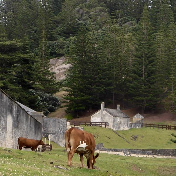 Cows at Kingston.jpg