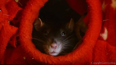 Chancy Rat Boggles