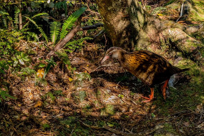 Ein Weka unterwegs im Wald