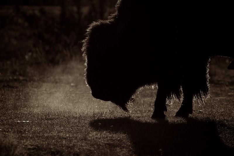 Bison Yellowstone N.P. WY IMG_0068269.jpg