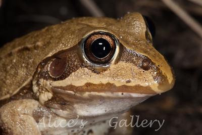 Cyclorana australis, (Giant Frog)