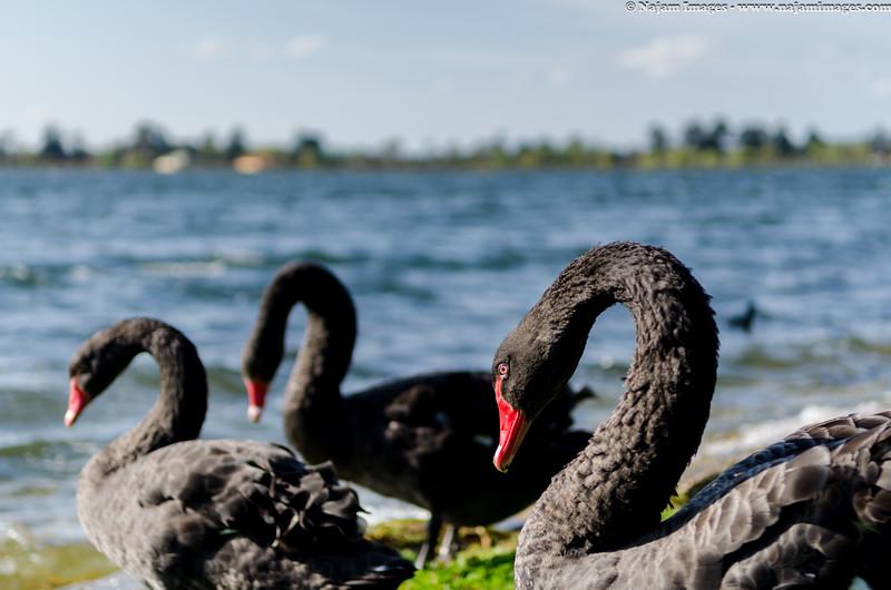 Swans in black