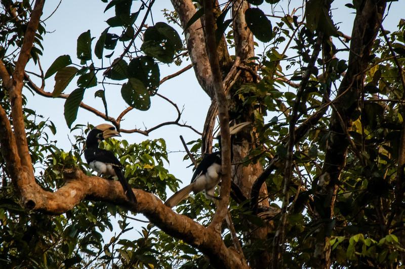 BIRD - pied hornbill pair 4.jpg