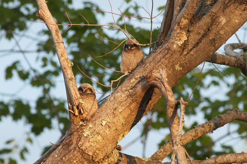 Northern Hawk Owl baby juvenile Owl Ave Sax-Zim Bog MN IMG_1302.jpg