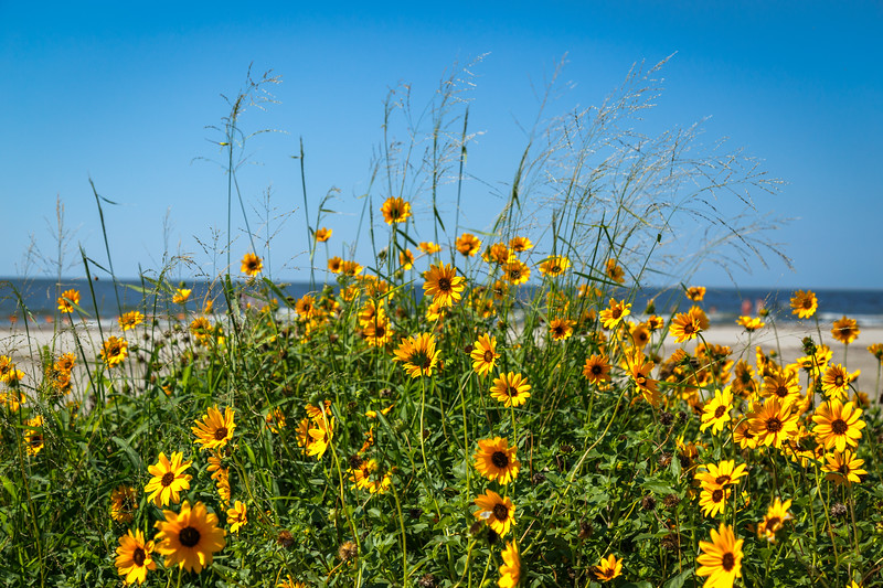 Dune Sunflower - Galveston, TX