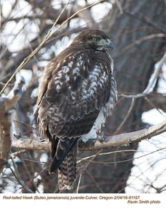 Red-tailed Hawk J81167.jpg