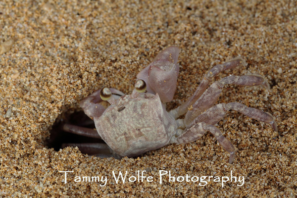 Crab, Pallid Ghost