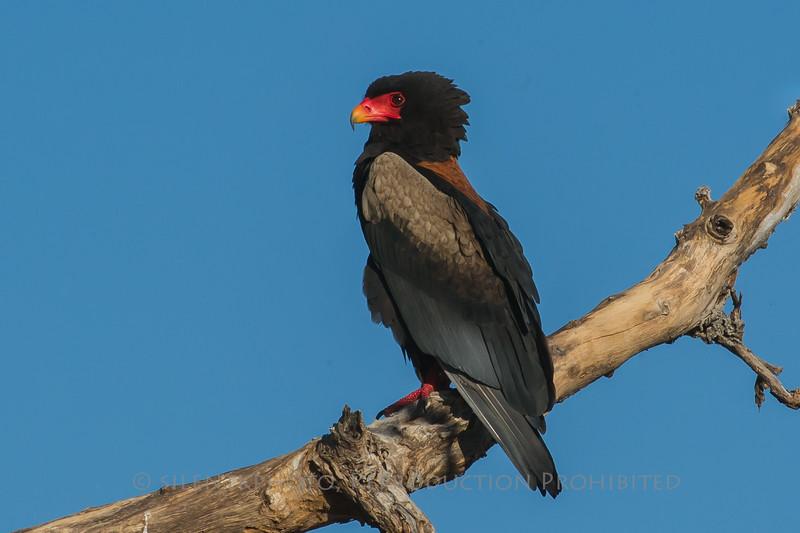 Bateleur Eagle, Duba Plains Camp, Bots