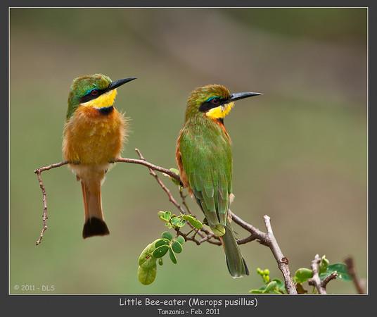 Tanzania - Birds