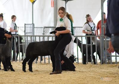 State Fair Lambs