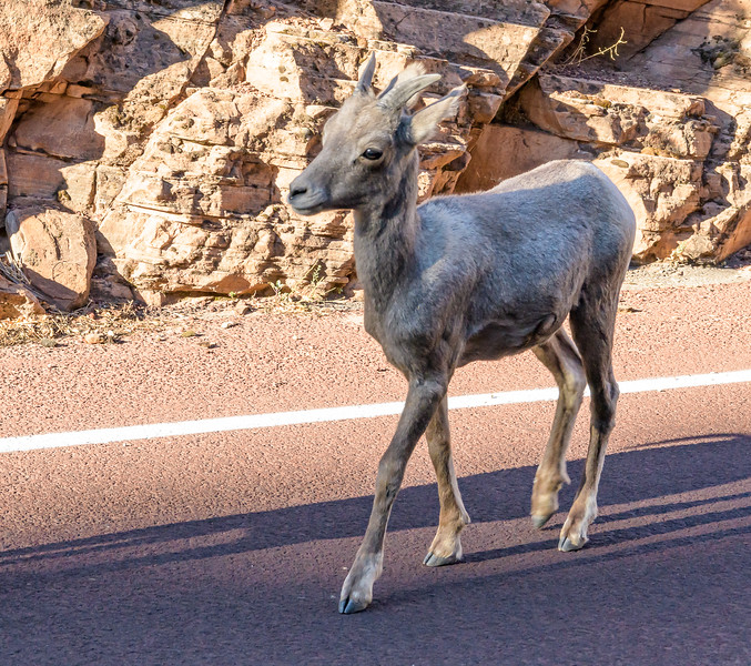 Young Bighorn Sheep strolling down the road