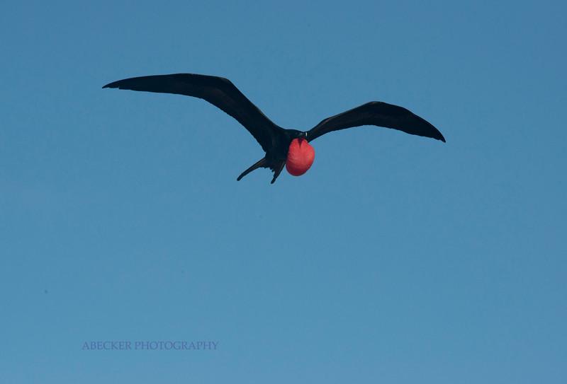 Frigatebird in Flight.jpg