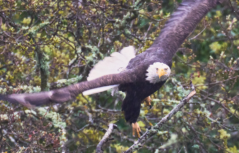 Bald Eagle at Almaden Reservoir