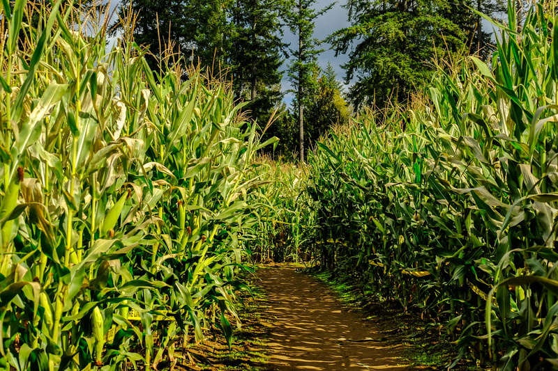 Rutledge Corn Maze on the Thurston Bountiful Byway in Olympia