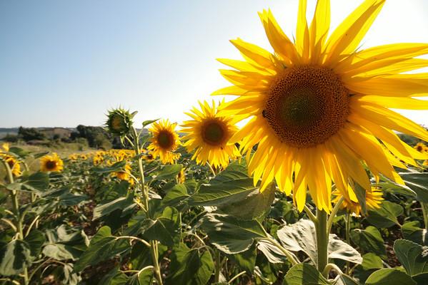 Italian Sunflowers