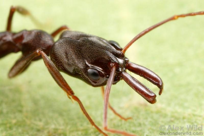 Odontomachus brunneus