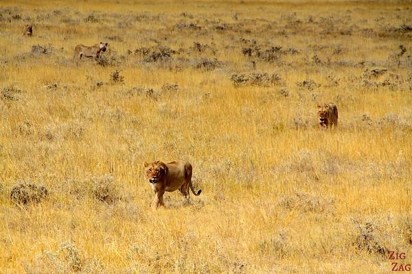 Lioness walking, Etosha Namibia