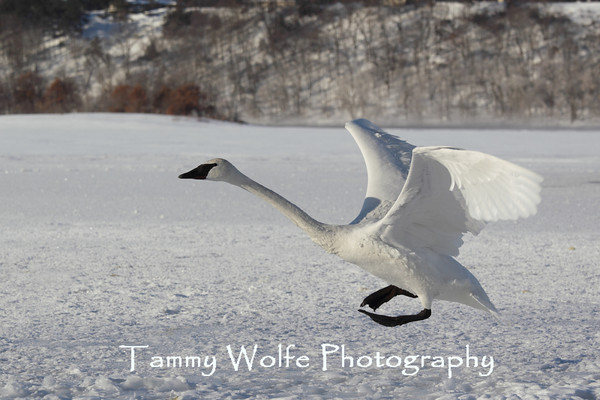 Swan, Trumpeter