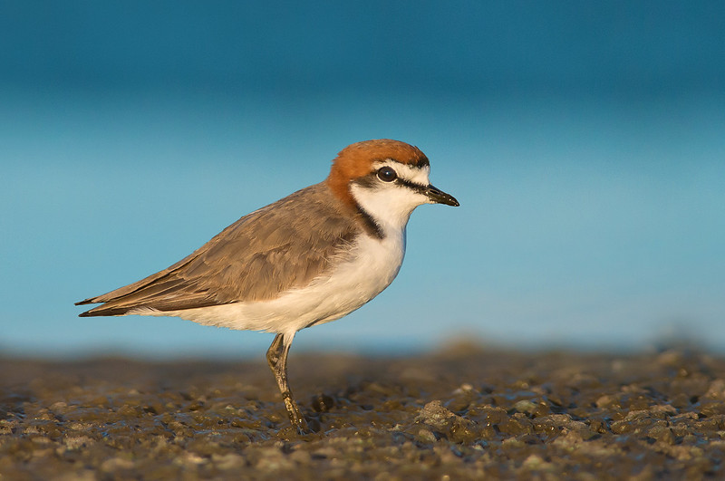 Red-capped Plover - Charadrius ruficapillus (Alice Springs Treatment Plant)
