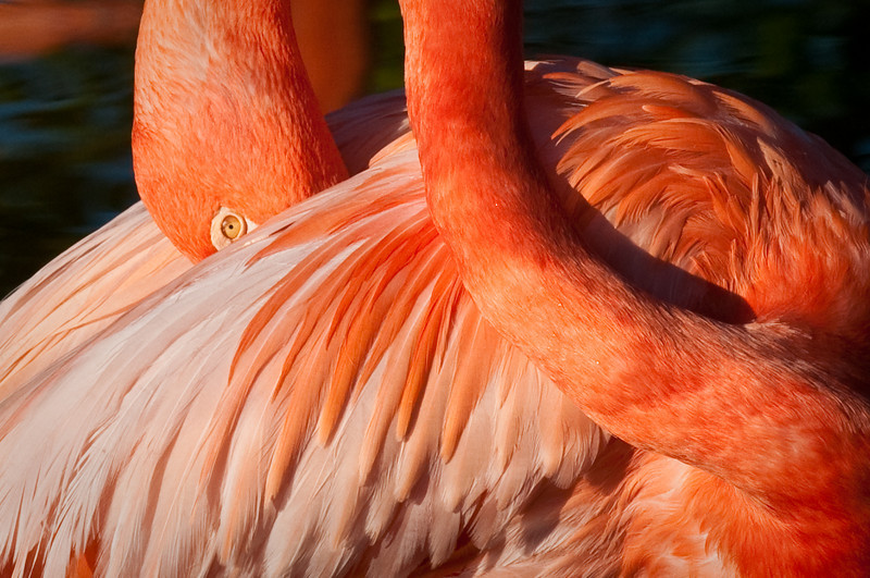 Greater Flamingo Gatorland, Orlando, Florida © 2010