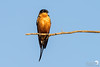 Red breasted swallow in the sun