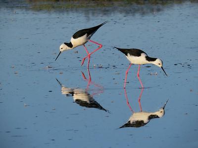 WETLAND BIRDS SMALLER