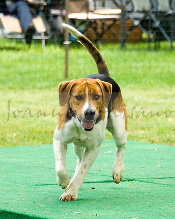 VA Foxhound Show 5-28-17