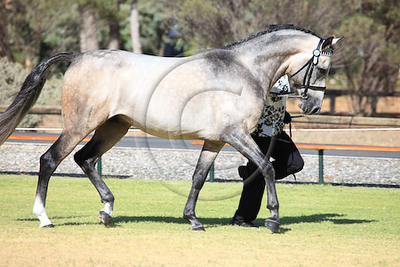 Best Trot Deriv Stallion