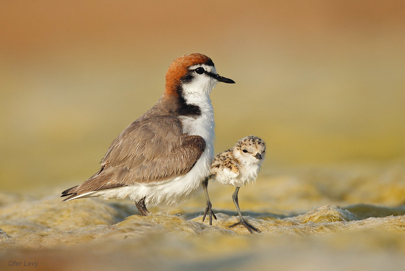 Red capped Plover 2.jpg