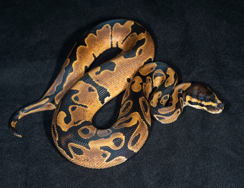 #2045, Male 66% possible Het Pied, $45