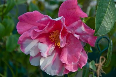Lancaster Garden Club Camellia Tour 2012